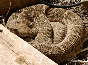 This is the rattlesnake that lived under my porch. You can read about her on pages 49-50