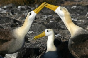 Albatrosses doing a mating dance. I talk about these on pages 143-146