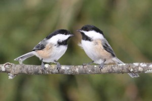 Black-capped Chickadees. I write about them on pages 195-196, 225