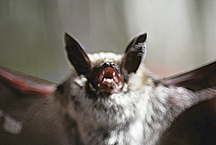 Bats have a complicated array of sounds, pages 212, 214, 231-232