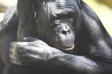 A bonobo. The bonobo called Kanzi has learned to use a keyboard and many English words, page 246