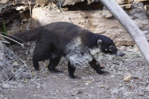 A Coati. I write about them on pages 186, 220