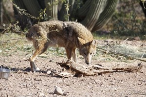 A coyote. I write about them on pages 59-60, 218, 220-221