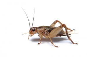 A cricket. I write about crickets on page 67 (iStockphoto),