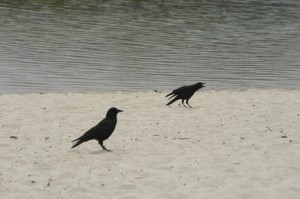 Crows and Ravens have a complex language. I write about this on pages 94-100