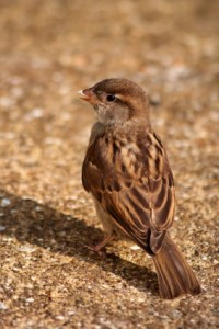 Sparrow like the one that lived in my house. I talk about this on pages 103-104