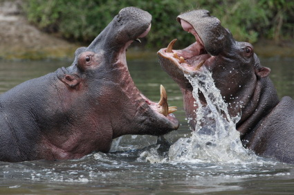 Two hippos having an aggressive interaction. I write about hippos on pages 228-230 (iStockphoto)