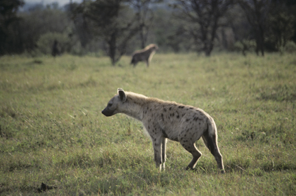 Hyenas use both odors and sounds, pages 216-217