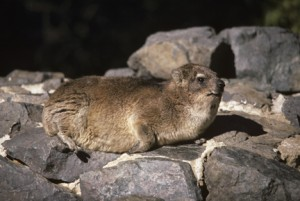 I studied the vocalizations of Rock Hyraxes in Kenya