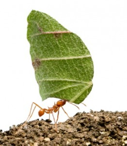 Leaf-cutter Ant carrying leaf. I talk about these ants on pages115-116 (iStockphoto)