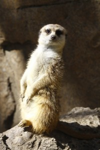 A meerkat. I write about them on pages 65-66