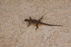 An Ornate Tree Lizard on the wall of my house. I talk about these on pages 146-149