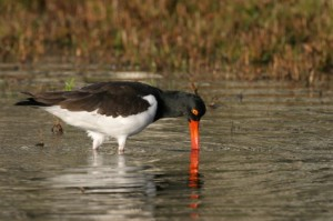 An Oystercatcher. I talk about this bird on page 174 (iStockphoto)