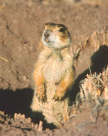 Here is a picture of a prairie dog. You can read about them on pages 19-25, 52-62, and 205-207