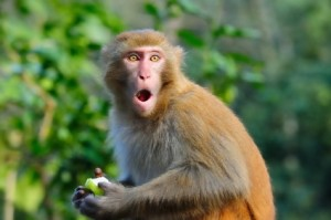 A Rhesus Macaque. I talk about them on pages 192-193