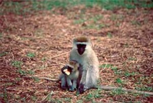 Vervet Monkeys. I write about them on pages 73-77