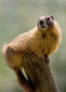 A Marmot. I talk about this on pages 64-65 (iStockphoto)