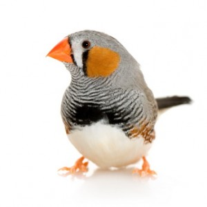 A Zebra Finch. I write about these birds on pages 160-161